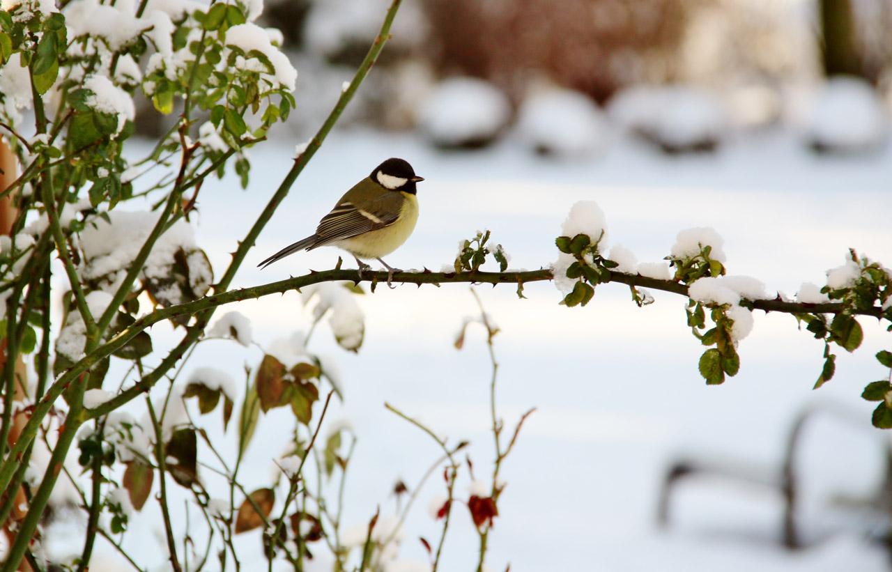 Impressionen-Kohlmeise im Schnee
